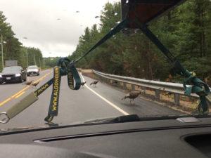 Ducks crossing the road on Highway 60