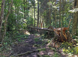 Large tree blow down in the middle of a portage in Algonquin Park