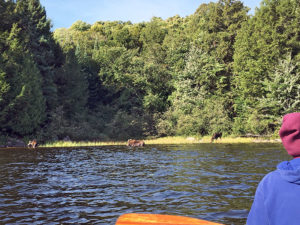 Watching three moose from the water on Pen Lake