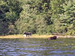 Close up photo of two moose in Algonquin Park on Pen Lake