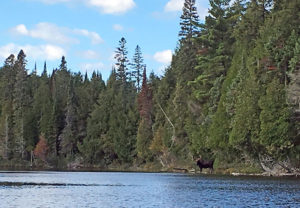 Zoomed in blurry photo of a moose on Polly Lake in Algonquin