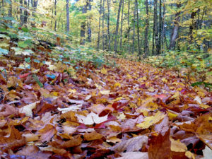 Close up picture of fall leaves on the ground in the middle of a portage trail