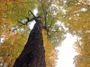 Looking up at a tree with beautiful yellow and green fall colours