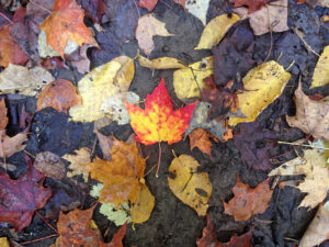 A colourful maple leaf on the ground among other fallen leaves