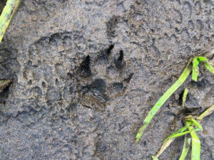 Fresh wolf tracks in the mud on Maple Creek