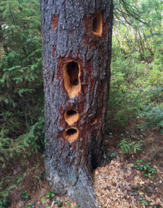 Woodpecker holes in a tree behind our campsite on Maple Lake