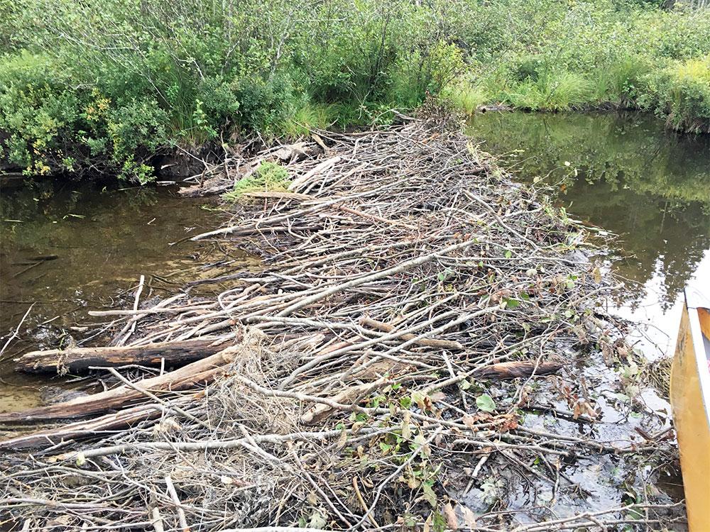Huge beaver dam blocking the Petawawa River