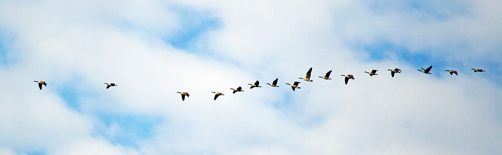 16 birds flying in sequence during a sunny day with clouds