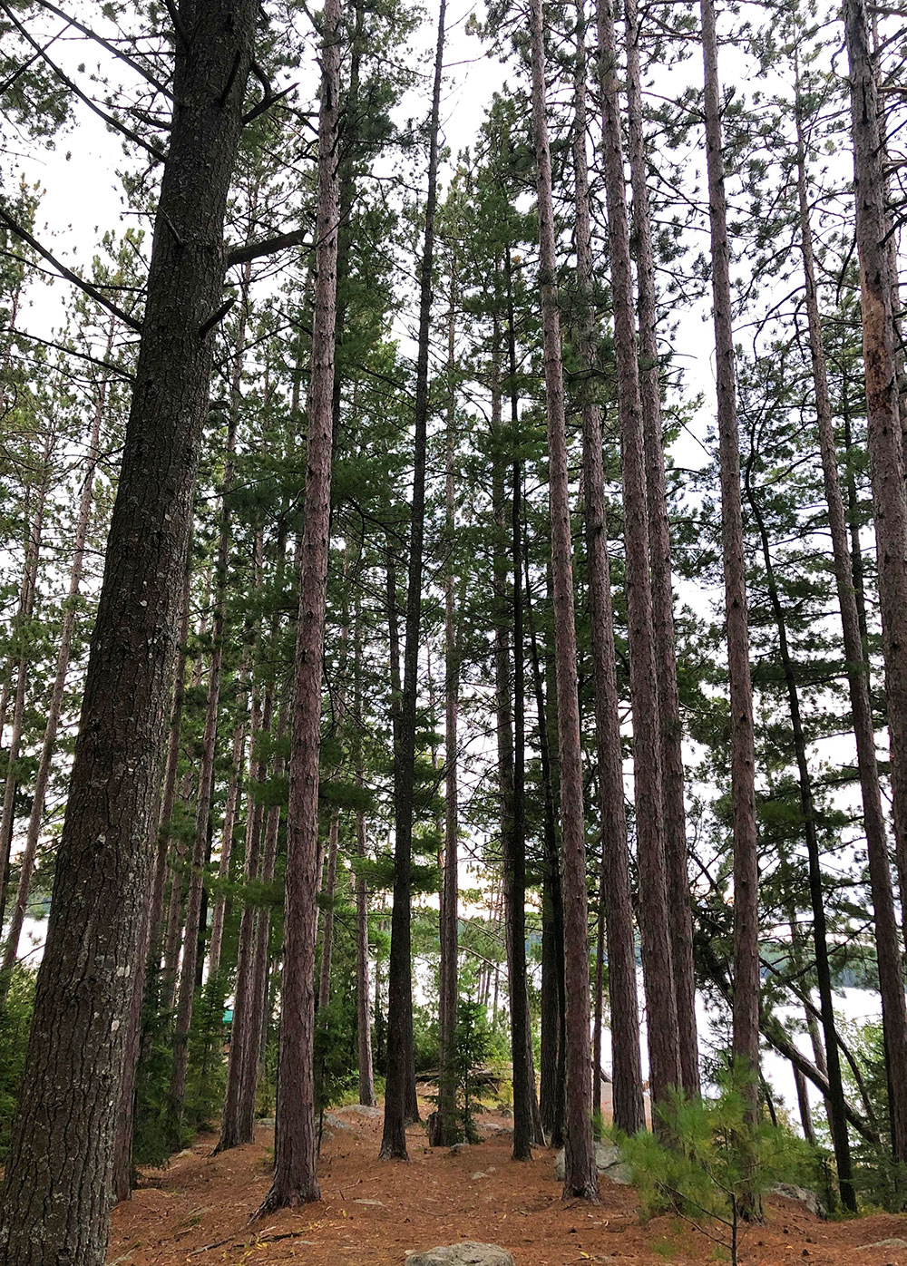 Tall pine trees on anchor island on Burntroot Lake in Algonquin