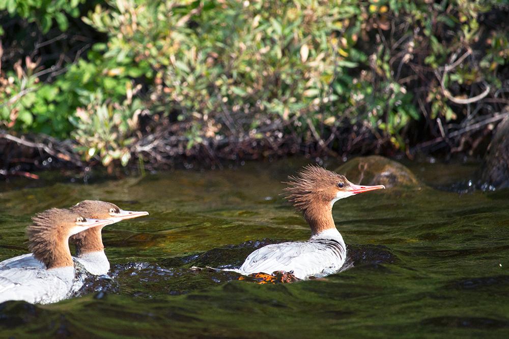 Merganser family swimming in Algonquin Park