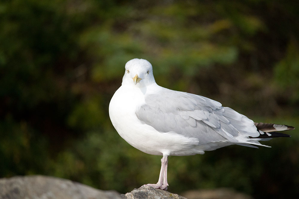 Seagull looking directly at the camera