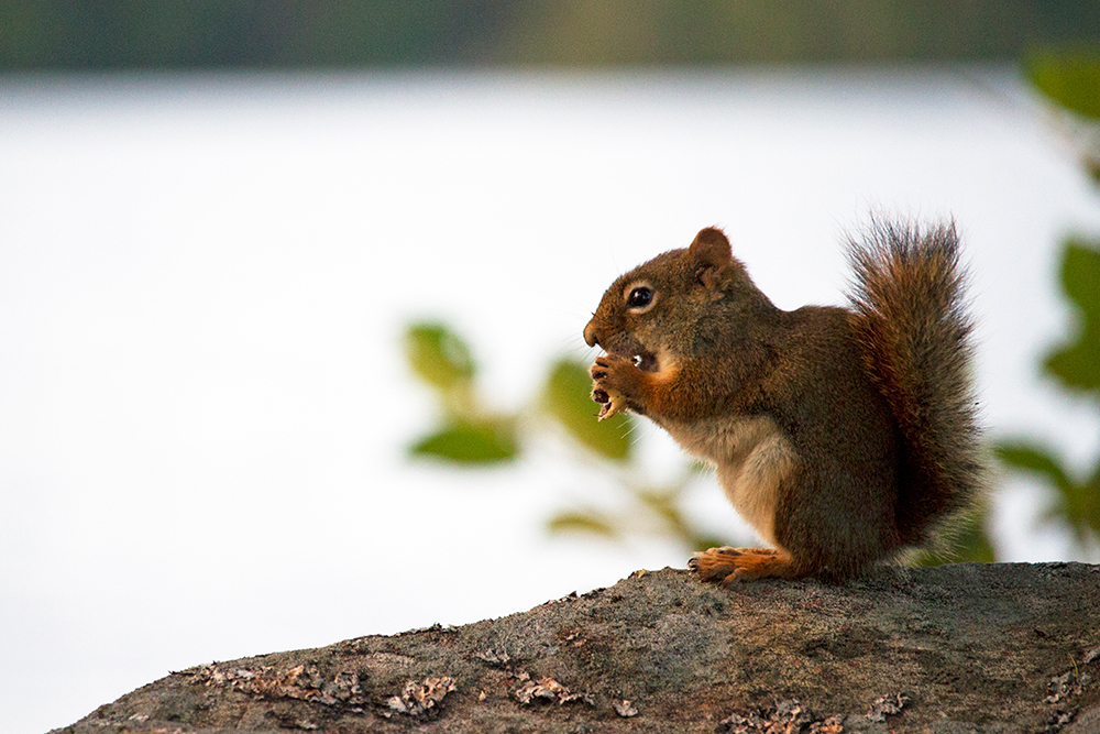 Squirrel having a snack on a rock on Anchor Island on Burntroot Lake