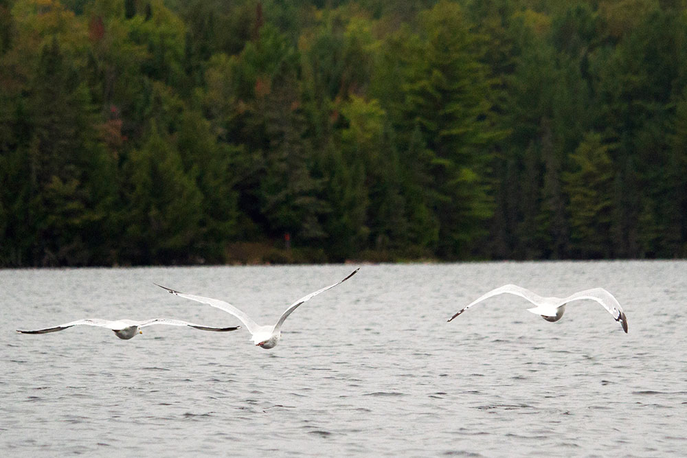 Three seagulls flying on Burnt Island Lake in Algonquin Park