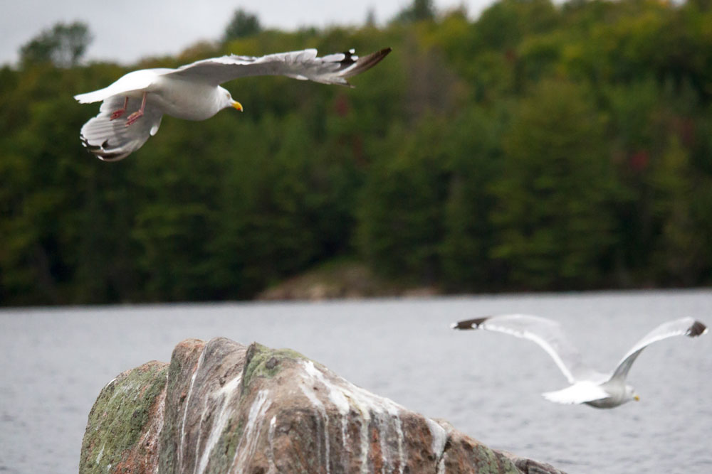 Two seagulls taking flight on Burnt Island Lake in Algonquin Park