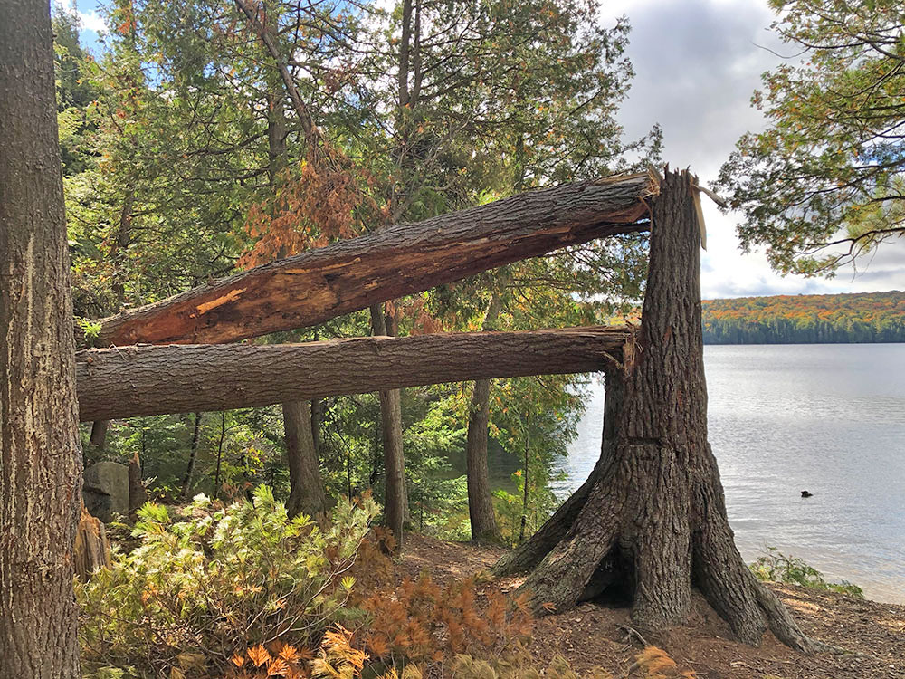 Large split tree in the middle of Burnt Island Lake campsite