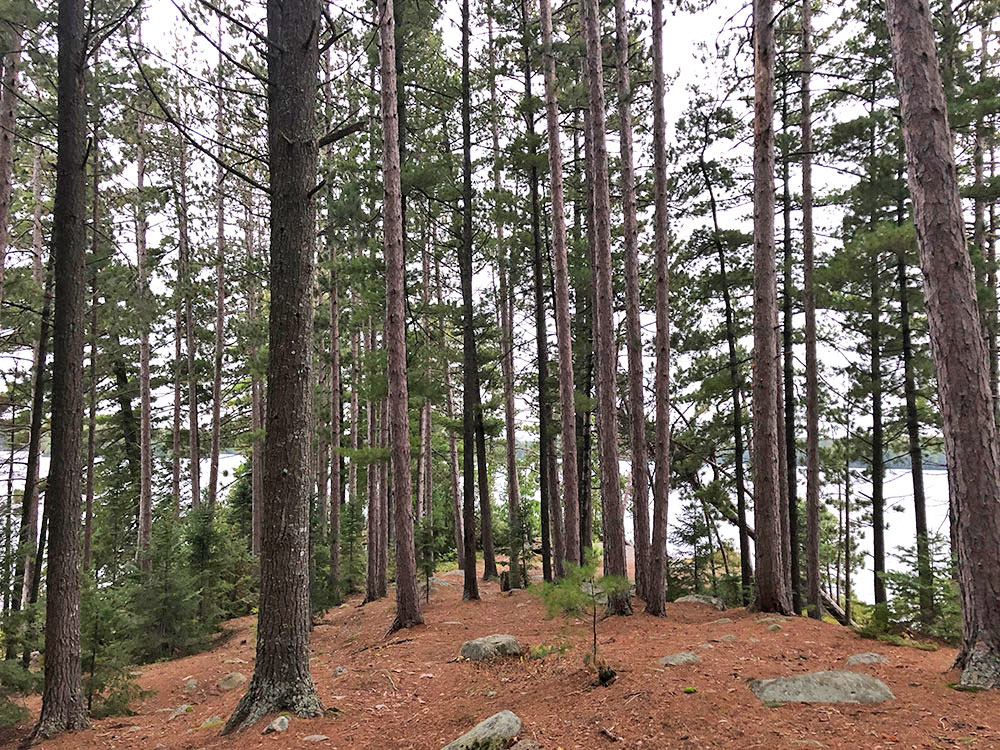 Tall pine trees behind campsite 14 on Burntroot Lake