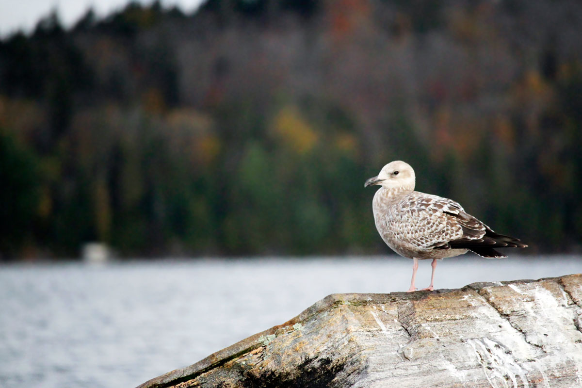 Baby seagull sitting on a rock on Smoke Lake in Algonquin Park