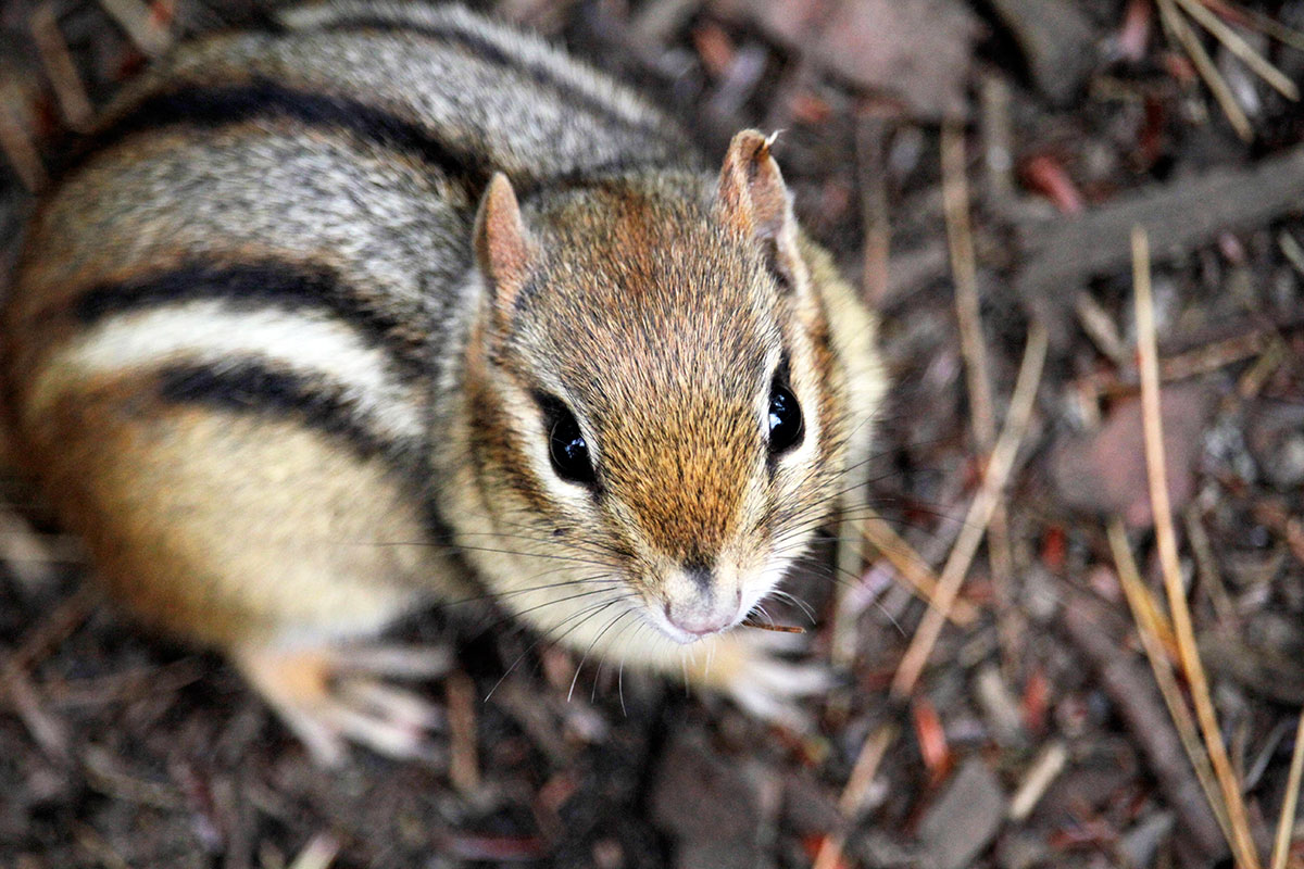 Chipmunk closeup on Ragged Lake campsite