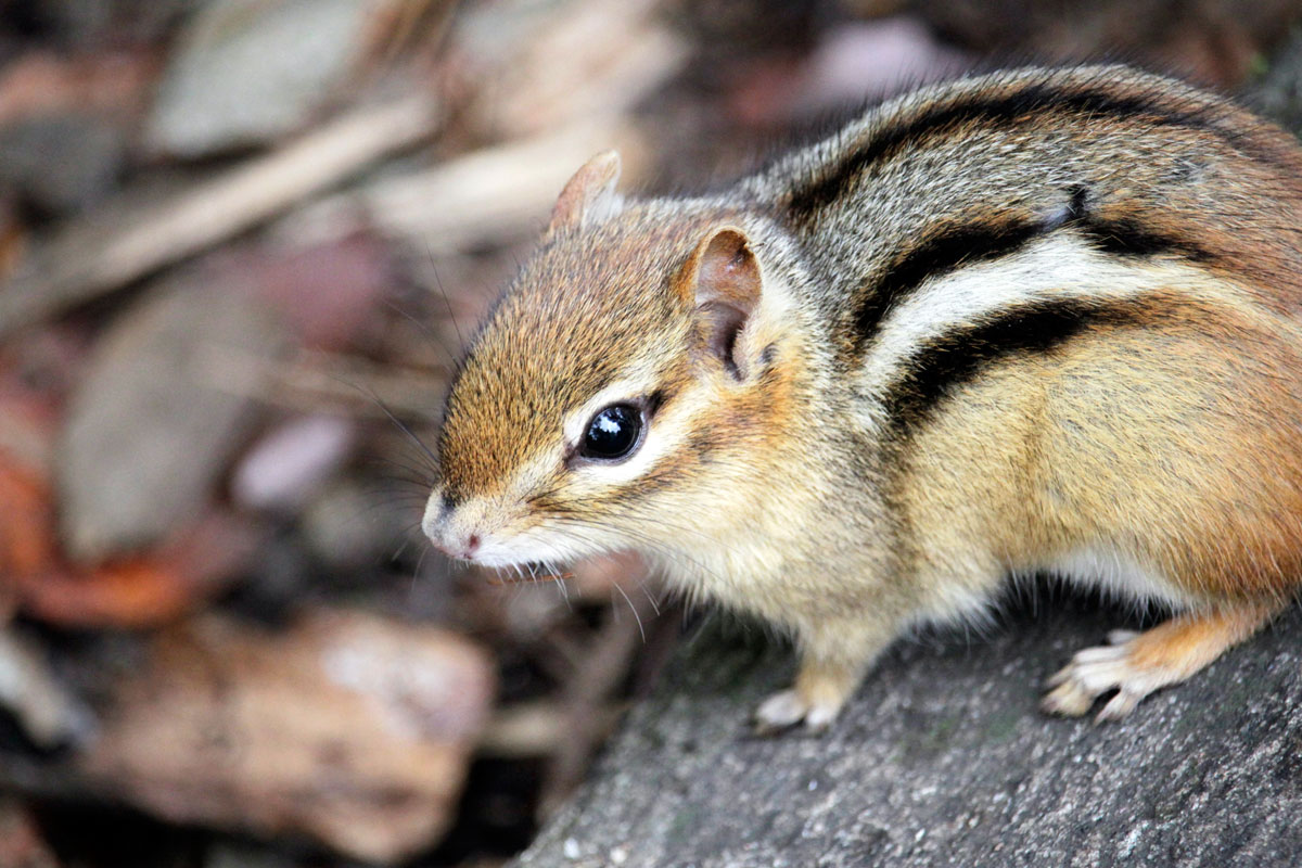 Chipmunk closeup on Ragged Lake campsite in Algonquin Park