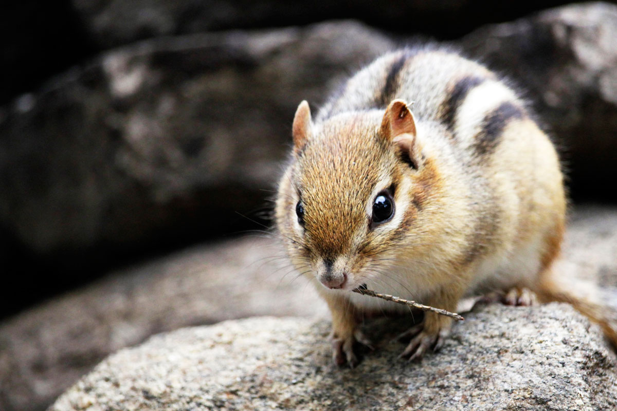 Chipmunk with small twig in mouth on Ragged Lake campsite fire pit