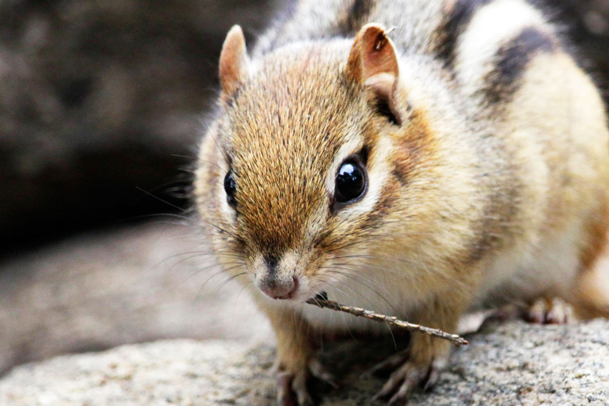 Chipmunk with small twig in mouth on Ragged Lake campsite fire pit close up