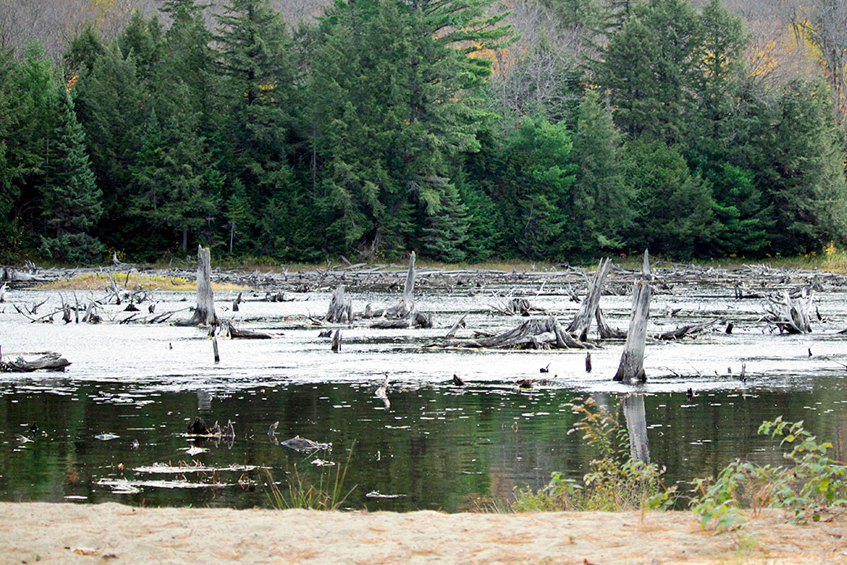 Dead tree stumps behind Ragged Lake island campsite in Algonquin Park