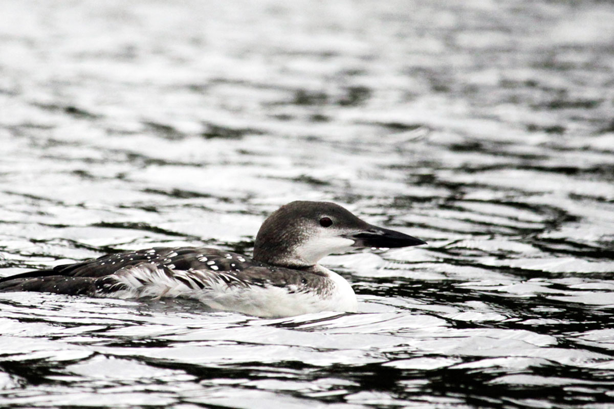 Loon on water on Smoke Lake in Algonquin Park October 2020