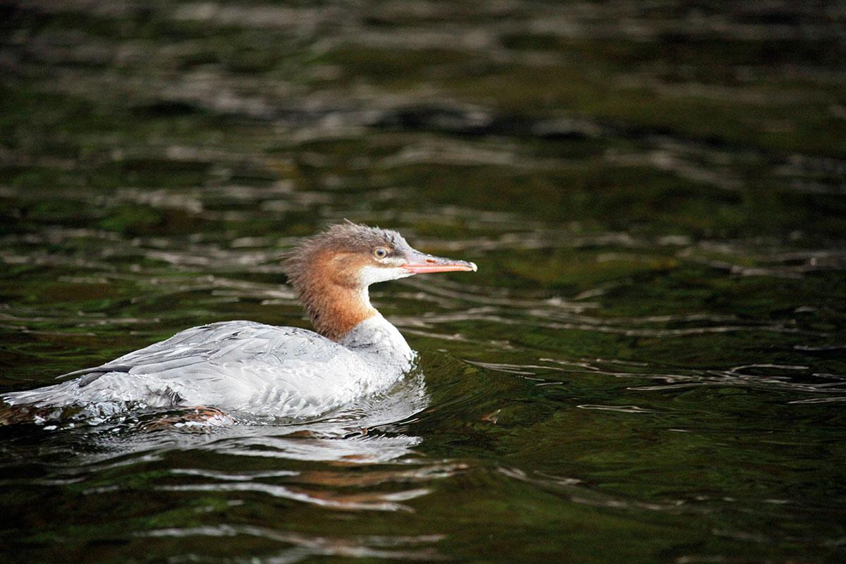 Merganser duck on Smoke Lake during cold fall morning Algonquin Park