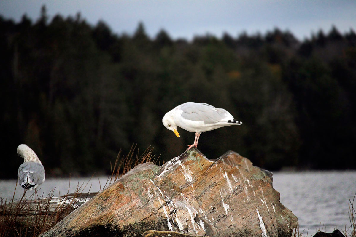 Seagull standing on rock looking at its feet on Smoke Lake