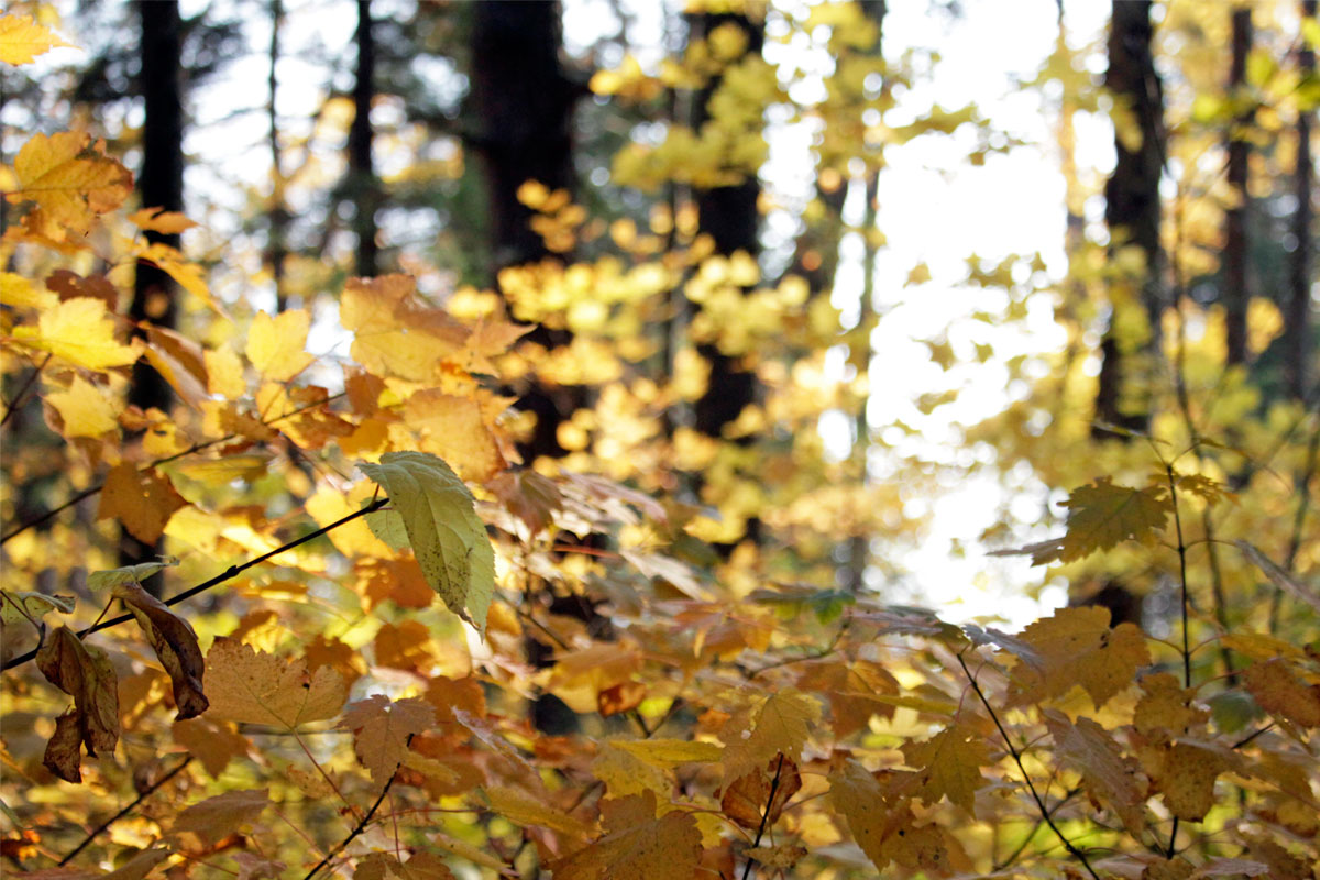 Yellow fall colours on trees behind Ragged Lake campsite October 2020