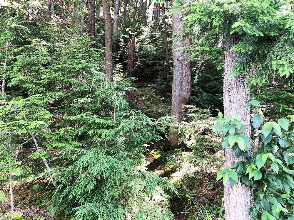 Ralph Bice Campsite 13 Algonquin Park overgrown trail behind site