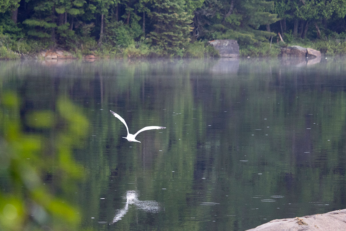 Bird flying low over Queer Lake water July 2021
