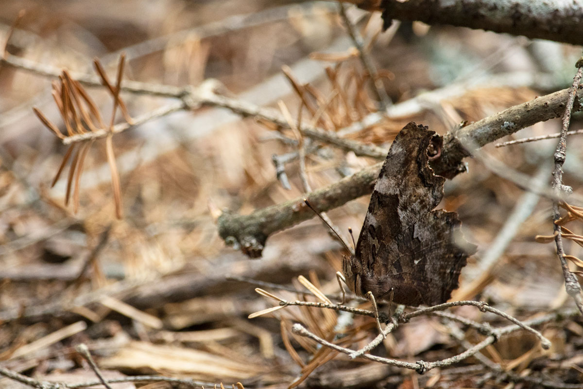 Butterfly on Shirley Lake in Algonquin Park 1