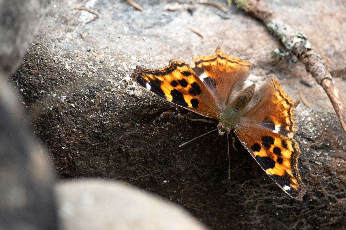 Butterfly on Shirley Lake in Algonquin Park 2