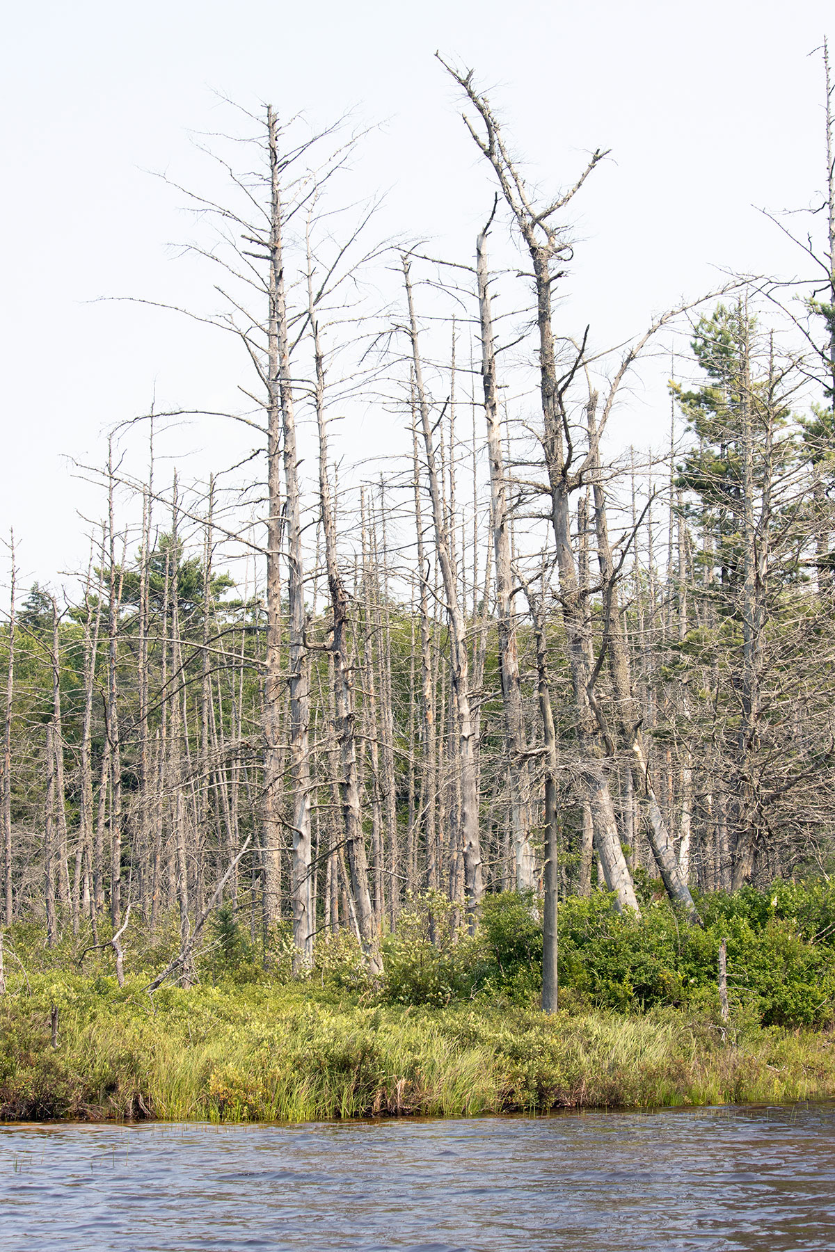 Dead trees on Queer Lake in July 2021 - 3