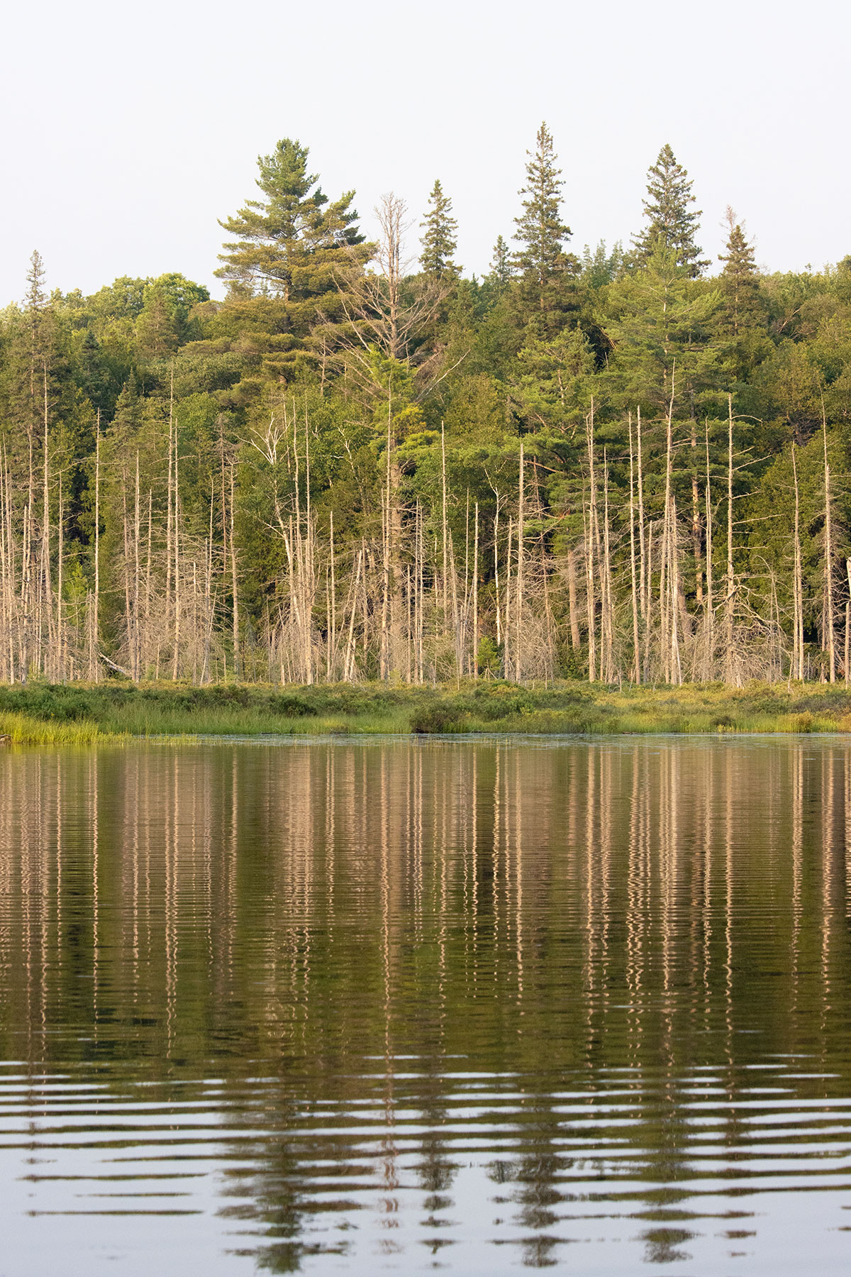 Dead trees on Queer Lake in July 2021 - 5