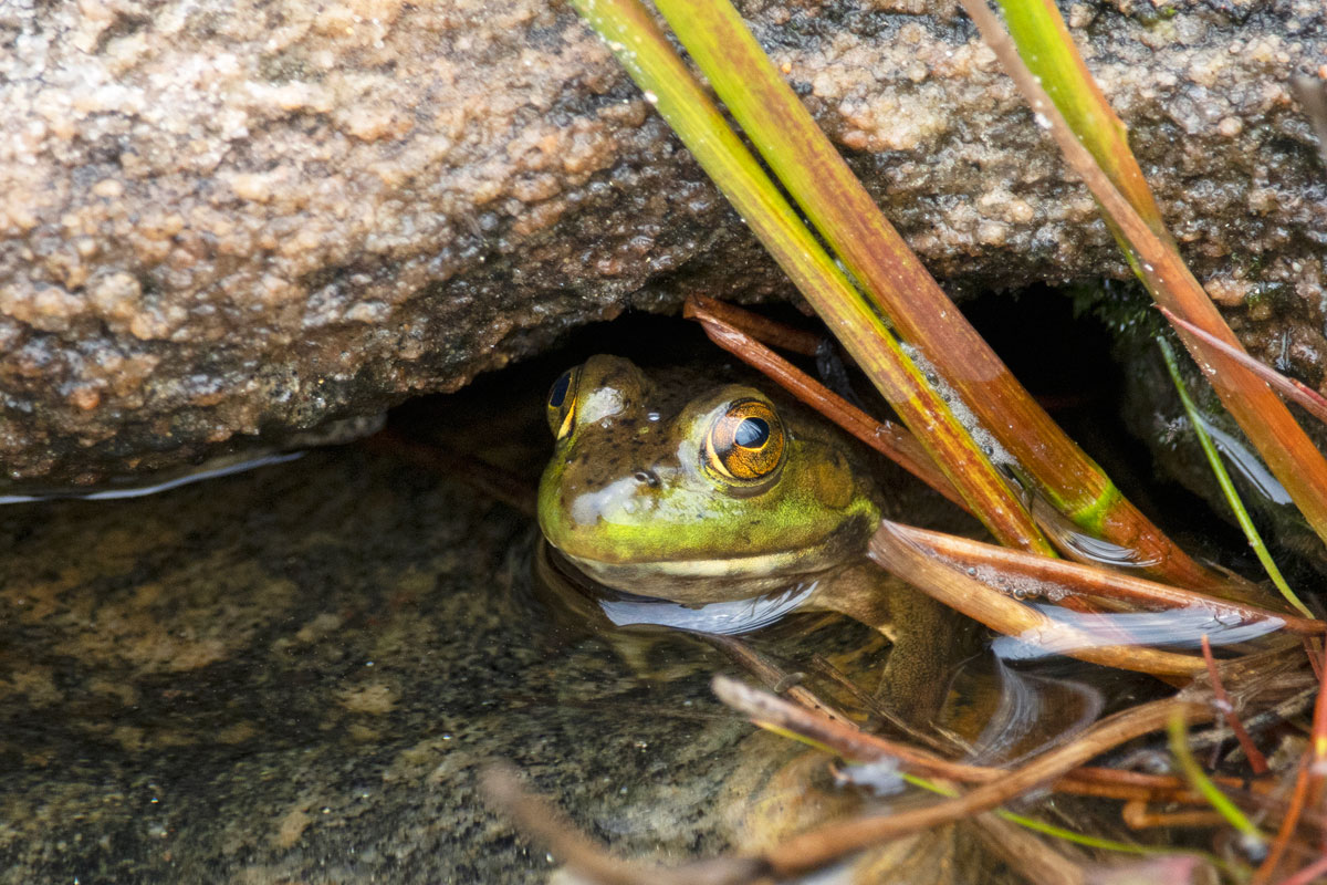 Frog under rock on Queer Lake in July 2021