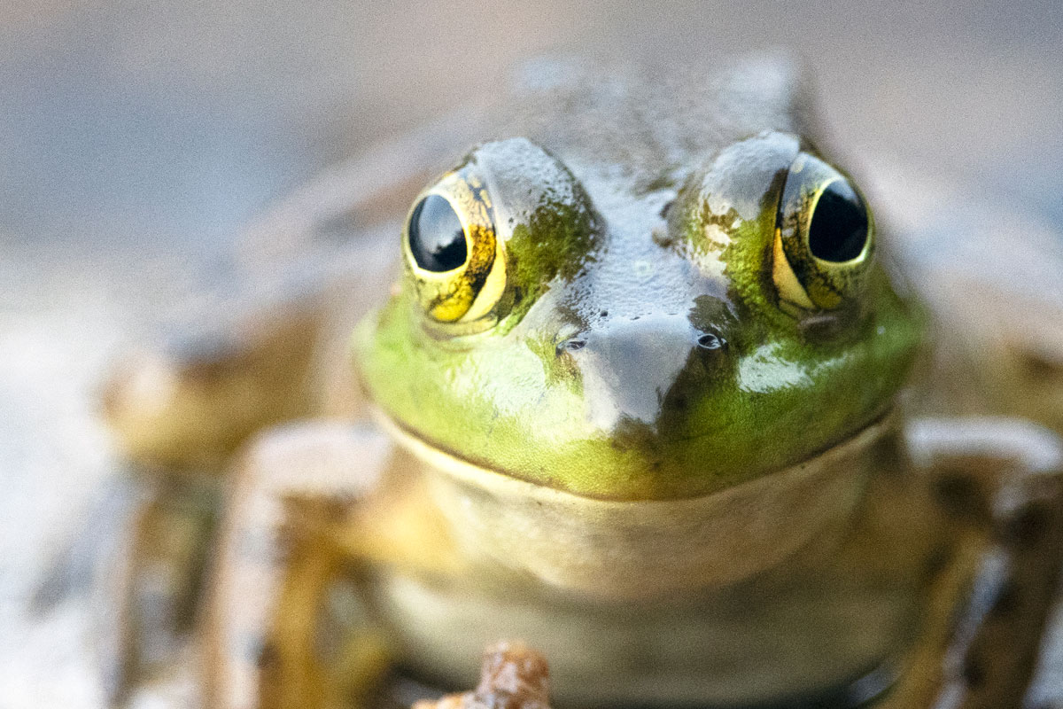 Frog on Shirley Lake in Algonquin Park 4