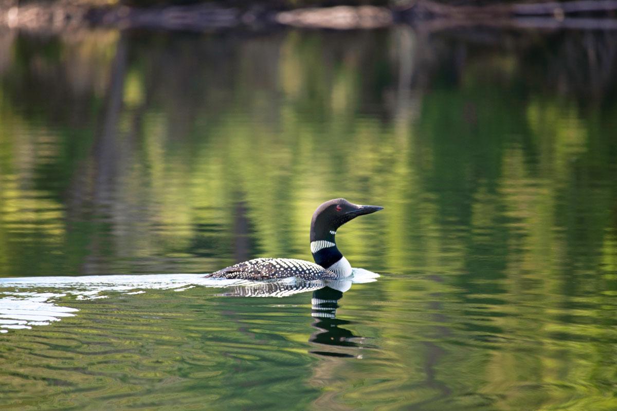 Look swimming on Ralph Bice Lake July 2021