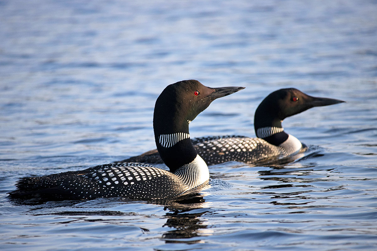 Loons on Queer Lake Algonquin Park July 2021 - 3