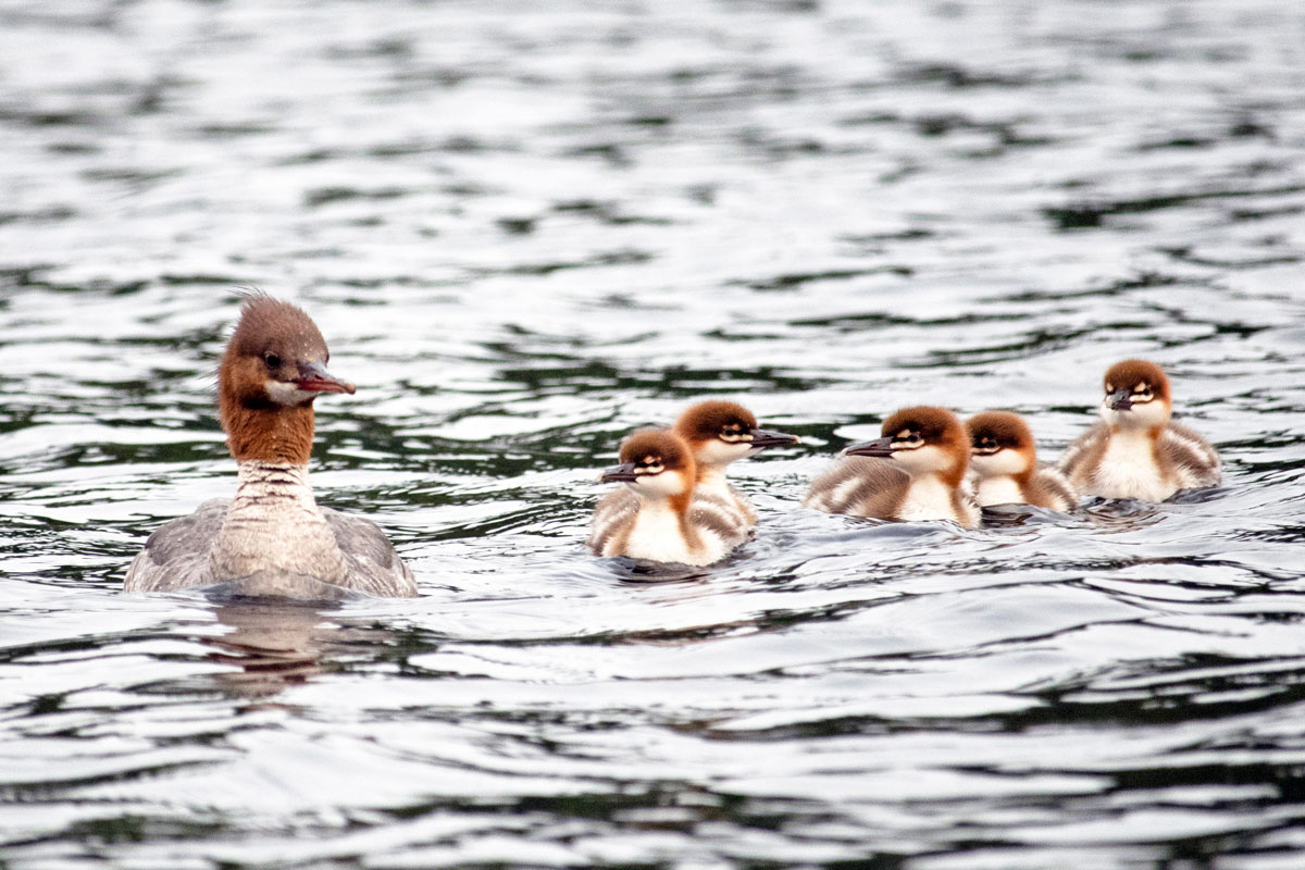 Mergansers swimming on Queer Lake July 2021 - 2