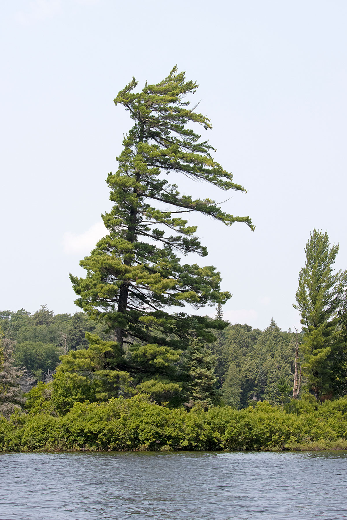 Wind swept tree on Little Trout Lake in Algonquin Park July 2021